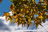 D312-2013 American Sweetgum or Sweet Gum tree (Liquidambar styraciflua)<br /> <br /> The fruit or seed balls hadn't fully matured and dried to their ultimate light brown color.<br /> <br /> Eastern Michigan University, Ypsilanti<br /> November 8, 2013