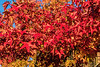 Sweetgum tree in autumn - a riot of color