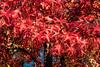 Sweetgum tree in autumn - claret and burgundy colored leaves