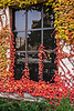 D308-2013  Boston Ivy (Parthenocissus tricuspidata, family Vitaceae) on the C. C. Little Building.<br /> <br /> Central Campus, University of Michigan, Ann Arbor<br /> November 4, 2013