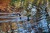 Mallards swimming through reflections of fall foliage
