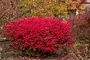 Euonymus alatus in autumn