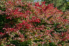 D293-2019<br /> Burning Bush, euonymus alatus<br /> <br /> Gerald Ford Presidential Library<br /> North Campus, University of Michigan<br /> Ann Arbor, Michigan<br /> Taken October 20, 2019