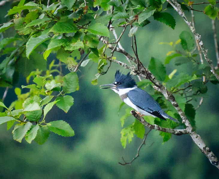 Belted Kingfisher, Lake Quinault