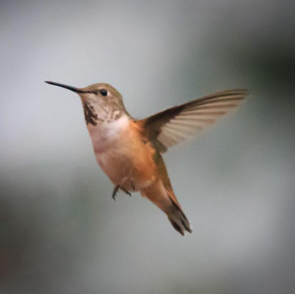 Rufous Hummingbird, Lake Quinault