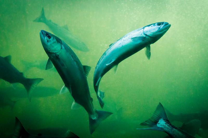 Salmon Ballet, Ballard Locks