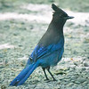 Steller's Jay, Lake Quinault