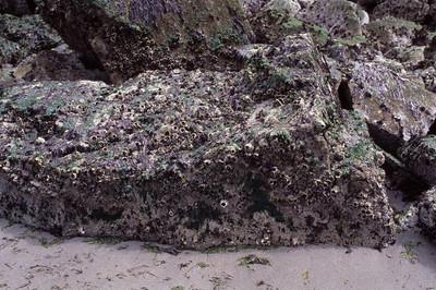 Barnacle Stone