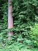 Jeszcze drzewa w Arboretum. <br /> <br /> Some more trees in Seattle Arboretum.