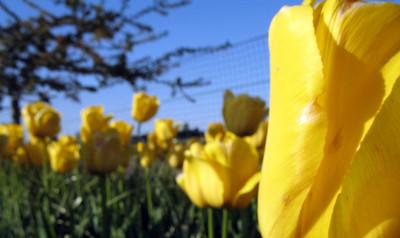 Skagit Valley Tulip Festival, April 2006