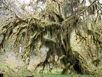HohRainForest-20120507-131-53