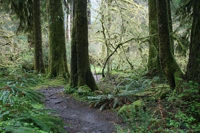 HohRainForest-20120506-079-11