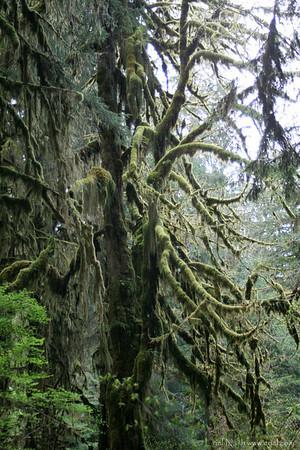 HohRainForest-20120506-046_1-33