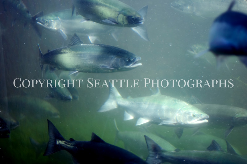Ballard Locks Fish Ladder 104