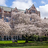 Cherry blossoms on the UW Quad | Seattle, WA | March 2017