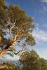 Magnolia Trees 108