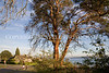Magnolia Trees 110