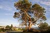 Magnolia Trees 104