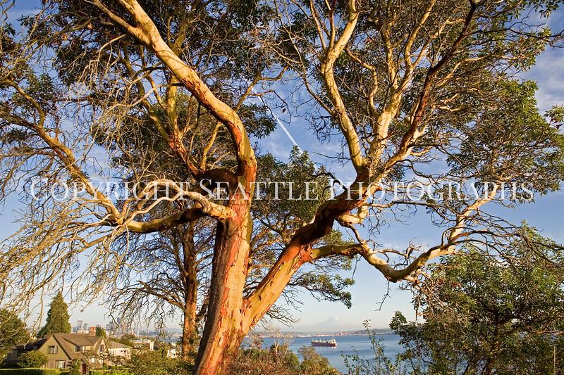 Magnolia Trees 105