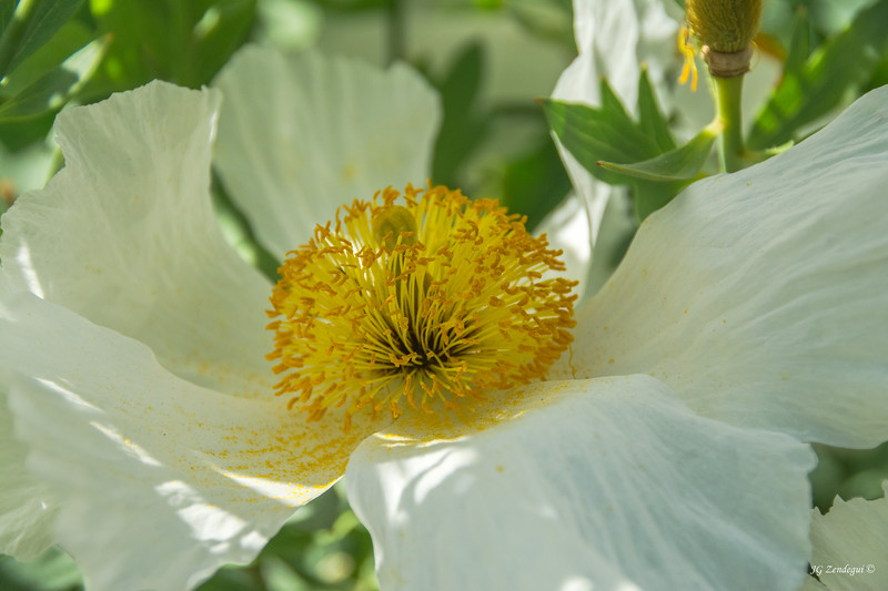 Pollen on White