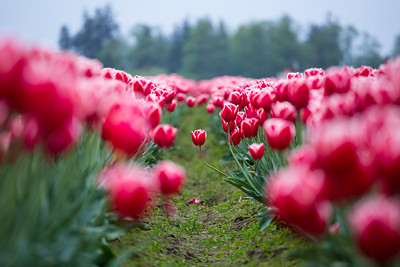 Tulip Stands Out
