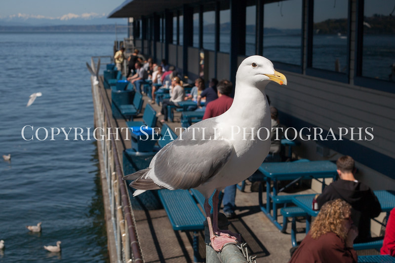 Waterfront Seagulls 103