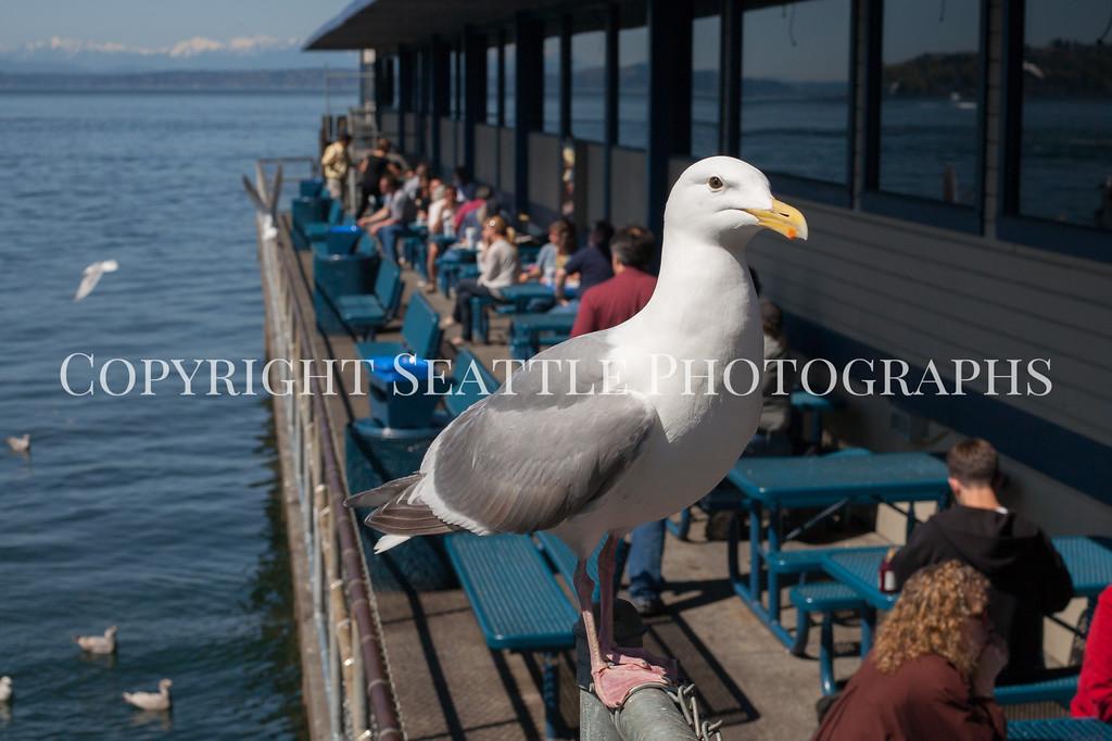 Waterfront Seagulls 103