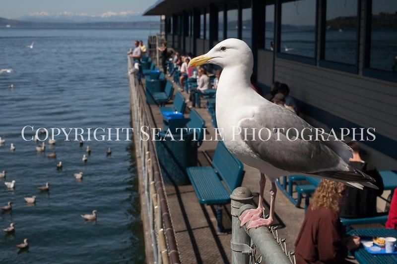 Waterfront Seagulls 104
