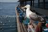 Waterfront Seagulls 104