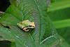 Tree frog.  Bellevue Botanical Garden, summer 2008