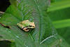 Tree frog.  Bellevue Botanical Garden, summer 2008