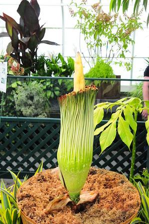 Volunteer Park - Corpse Flower 8/31/16, 9/1/16