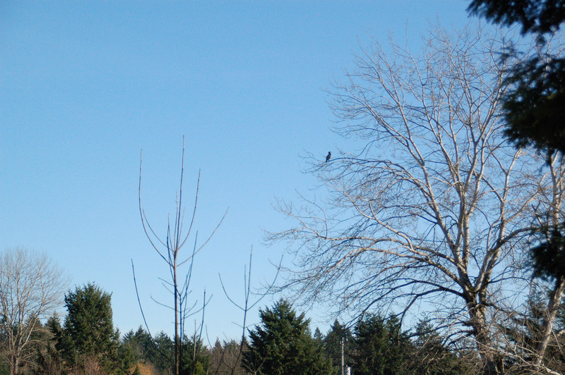 Meadowbrook Pond, January 2007. A cormorant, great blue heron and stellar jay were all in the same tree.  Cormorant is seen here.