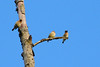 Lots of cedar waxwings in the trees. And the air is filled with swallows catching insects as they soar over the ponds.
