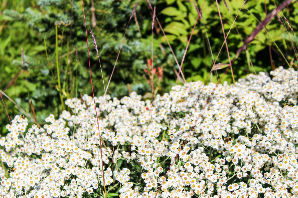 see wild flowers on your mount rainier day trip