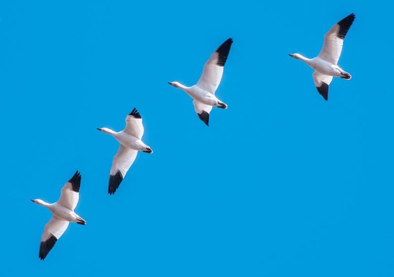 Snow Geese, Skagit County WA