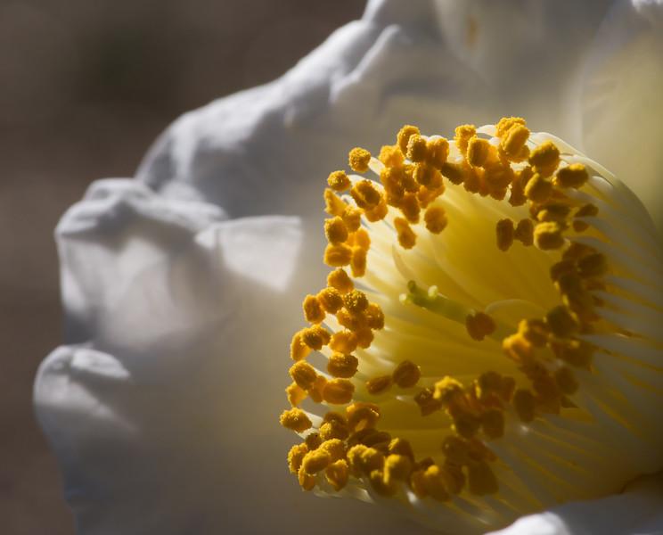 Camellia japonica 'Amabilis'