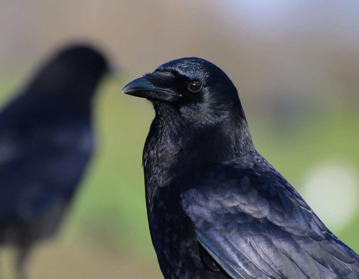 Corvus...