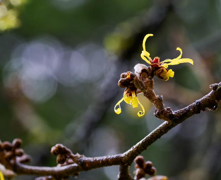 Hammamelis mollis (Chinese Which Hazel)