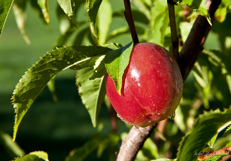 Eastern Washington Nectarines