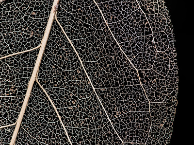 skeletonized Magnolia leaf
