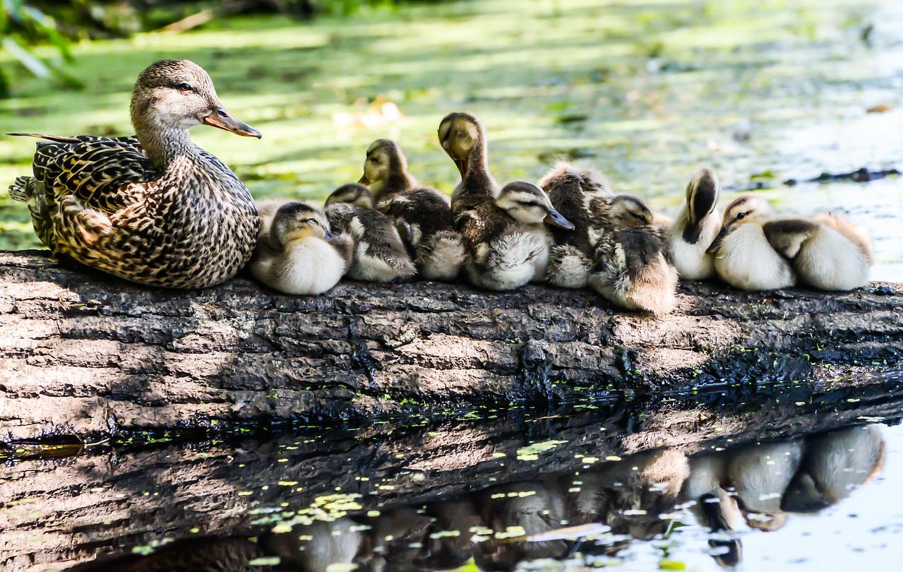 Mallards in Lake Washington