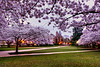 Cherry Blossoms on the Quad