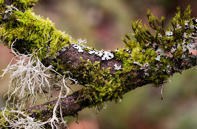 lichens and mosses on bigleaf maple limb, Magnuson Park, Seattle