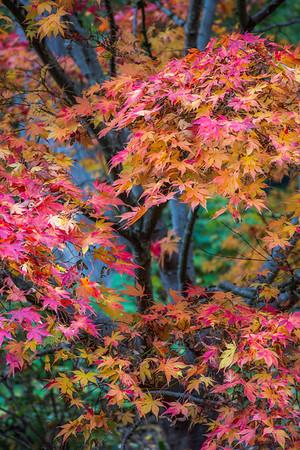 Kubota Japanese Maple