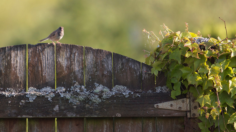 Bird on a fence recropped<br /> <br /> Photographer's Name: Tom Chwojko-Frank