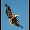 Eagle Over Head<br /> <br /> Photographer's Name: Mark Andrew