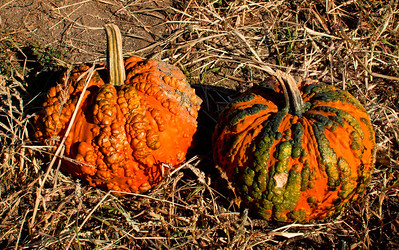 Warty pumpkins in late afternoon sun  Photographer's Name: Heather Dutra