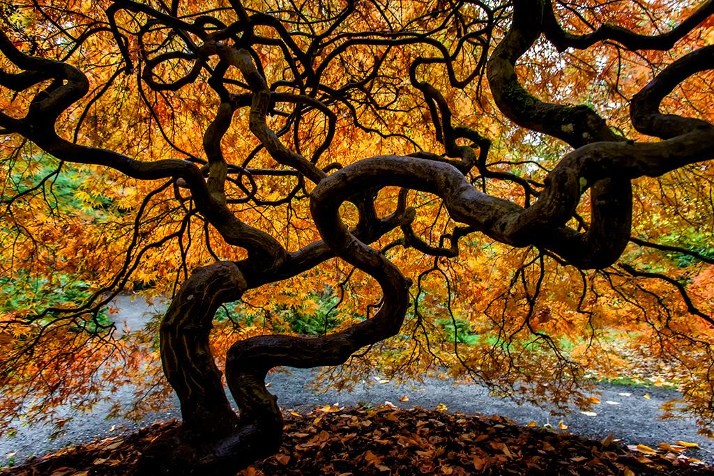 Japanese Maple  Photographer's Name: Frank Dobrushken