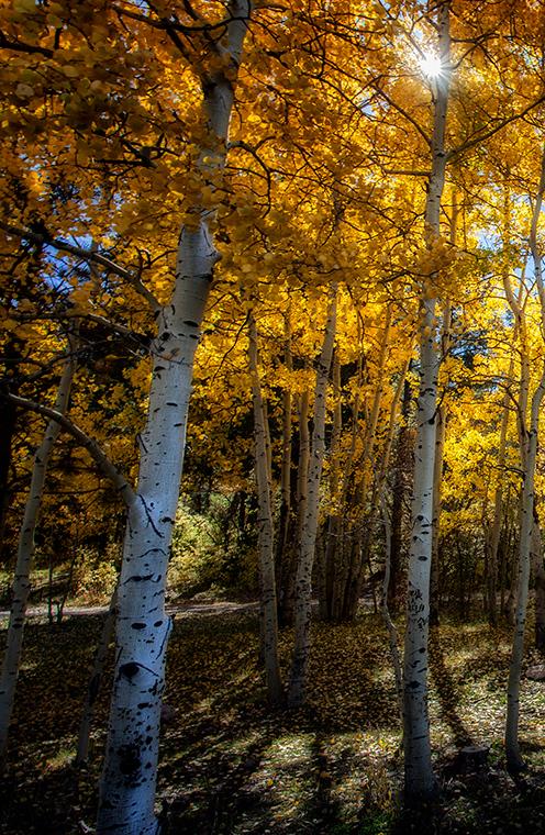 New Mexico Aspens  Photographer's Name: Frank Dobrushken